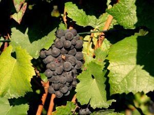 grapes-1717384_640
